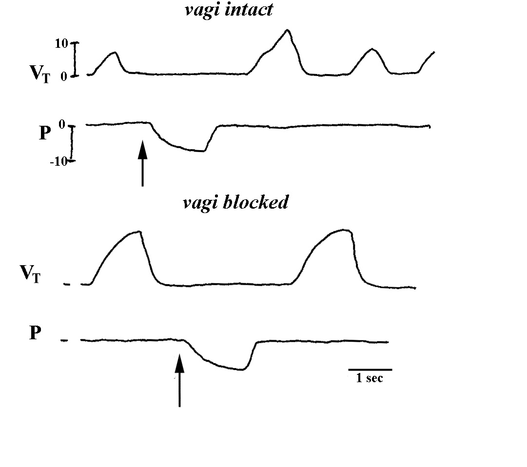 Resting Breathing Pattern And Its Peripheral Modulation