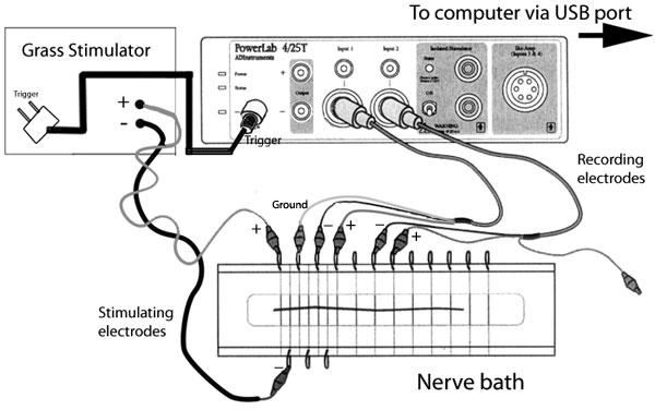 measurement of compound action potentials from the frog sciatic nerve essay Neuroscience overview this collection includes both advanced and introductory experiments to teach students about various neurological concepts students measure compound action.