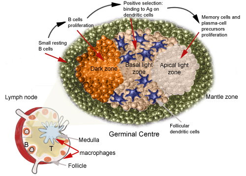 B Cell Activation Germinal Center Immunology Labo...